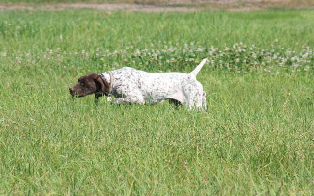 German Shorthaired Pointers Puppies For Sale Boarding Pointing Breed Sporting Dog Hunting