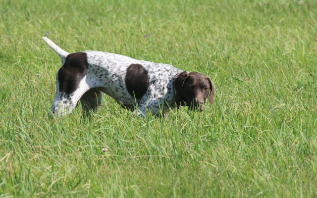 German Shorthaired Pointers Puppies For Sale Boarding